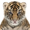 Sumatran Tiger cub, Panthera tigris sumatrae, 3 weeks old, in fr Royalty Free Stock Photo