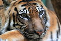 Sumatran tiger the detail of Royalty Free Stock Photos