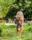 Sumatran Tiger Licking Lips Framed by Greenery Royalty Free Stock Image