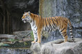 Sumatran tiger looking big in the zoo khokeaw open zoo chonburi thailand Stock Photos