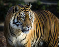 Sumatran tiger panthera tigris sumatrae Royalty Free Stock Photos