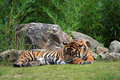 The sumatran tiger panthera tigris sumatrae Stock Image
