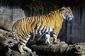 Sumatran tiger panthera tigris sumatrae female Stock Images