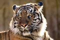 Sumatran Tiger, Panthera tigris sumatrae Royalty Free Stock Photo