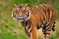 Sumatran tiger portrait Stock Photo
