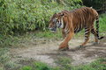 Sumatran tiger the strolling adult Stock Image