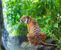 Sumatransky tiger sits at falls in the jungle Stock Photos