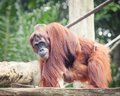 Sumatrian orangutan female and cub Stock Photo