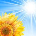 Summer background blue sky sunflower mesh clipping mask file contains transparency eps Royalty Free Stock Photography