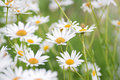 Summer background of white Daisy flowers in horizontal frame Royalty Free Stock Photo