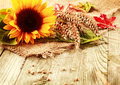 Summer background with a sunflower and wheat Royalty Free Stock Photo