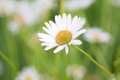 Summer background of white Daisy flower Royalty Free Stock Photo