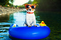 Summer beach dog on blue air mattress in refreshing water Royalty Free Stock Images