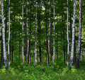 Summer birch forest landscape Royalty Free Stock Photos