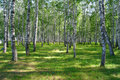 In summer birch grove Royalty Free Stock Image