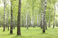 Summer birch trees in forest, beautiful birch grove, birch-wood Royalty Free Stock Photo