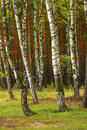Summer birch wood Royalty Free Stock Photo