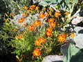 blooming garden plant flower marigold with orange petals and yellow centers Royalty Free Stock Photo