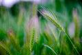 Hordeum leporinum. Summer blurred Stipa green magenta feather mat grass at sunset Royalty Free Stock Photo
