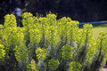 Summer border plants Euphorbia characias Royalty Free Stock Photo