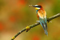 Summer colour. Summer colour bird in flowers. European Bee-eater, Merops apiaster, beautiful bird sitting on the branch with drago Royalty Free Stock Photo