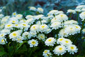 Summer daisies Royalty Free Stock Images