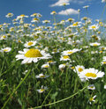 Summer daisies field Stock Photography