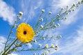 Summer daisy and blue sky Royalty Free Stock Photo