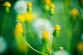 Summer dandelion flowers in green meadow Royalty Free Stock Photo