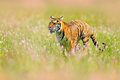 Summer day fit dangerous animal. Flowered meadow with tiger. Tiger with ping and yellow and pink flowers. Siberian tiger in beauti Royalty Free Stock Photo
