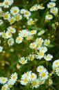 Small white daisies in green grass Royalty Free Stock Photo