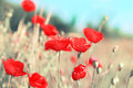 Summer day in meadow full of blooming poppies Royalty Free Stock Image