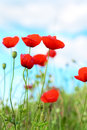 Summer day in meadow full of blooming poppies Stock Photo