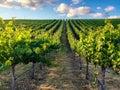 Vineyard rows during Northern California summer Royalty Free Stock Photo