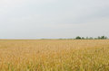 Summer eared field and blue sky Royalty Free Stock Photo