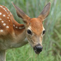 Summer fawn whitetail portrait as it gets a drink in Stock Image