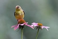 Summer Female Goldfinch Royalty Free Stock Photo