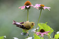 Summer Female Goldfinch Perching Royalty Free Stock Photo