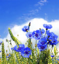 Summer field from blue cornflower Royalty Free Stock Photo