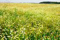 Summer field of daisy flowers Royalty Free Stock Photo