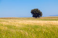 Summer field with lone tree wheat and lonely against the blue sky in northern greece Royalty Free Stock Photography