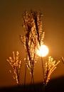 Summer field sunset grass against sun corn feathers landscape Stock Photography