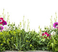 Summer flower bed with iris and anemones siolated floral border isolated on white background Royalty Free Stock Photo
