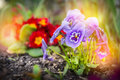 Summer flower garden beet with red primula and blue heartsease outdoor Royalty Free Stock Photography