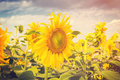 Summer flower and sunflower field with sunlight, Vintage toned Royalty Free Stock Photo