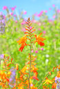 Summer flowers close up of montbretia or crocosmia in the for ground with out of focus pink against a blue sky in the background Royalty Free Stock Images