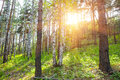 summer forest in the sun Royalty Free Stock Photo