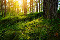 Summer forest undergrowth vegetation. Grass, shrubs and moss growing in pinewood understory or underbrush backlit by the sun. Royalty Free Stock Photo