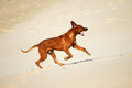 Rhodesian Ridgeback dog running Royalty Free Stock Photo