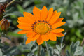 Summer Gazania Royalty Free Stock Image